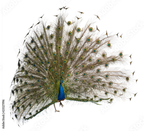 Front view of a male Indian Peafowl displaying wheel