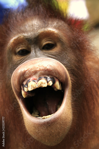 Photo Laughing orangutan