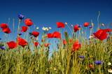 Fototapeta Papavers - Polne kwiaty