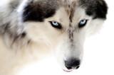 Fototapeta Dogs - Blue eyed husky dog on seamless white