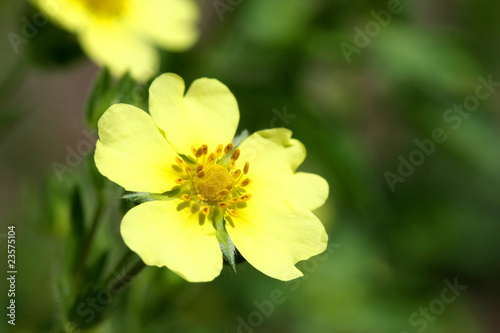 Fotografia, Obraz  Rough Fruited Cinquefoil - Potentilla recta