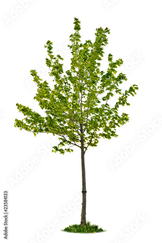 Isolated young maple tree