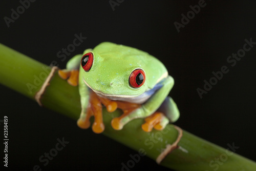 Tuinposter Kikker green frog on black