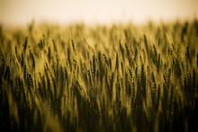 Field Of Grain In Countryside