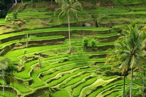 Reisterasse auf Bali