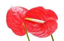 Red Anthurium (Flamingo Flower...