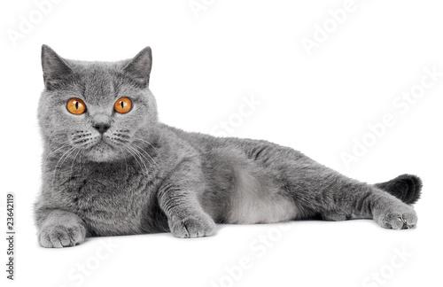 Obraz British Shorthair cat isolated - fototapety do salonu