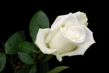 The White Rose On Black