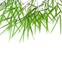 Backlit Stems Of Beautiful Green Bamboo Leaves