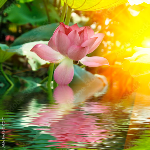 Garden Poster Lotus flower lotus