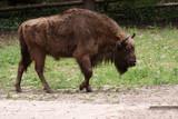 Fototapeta Zwierzęta - żubr