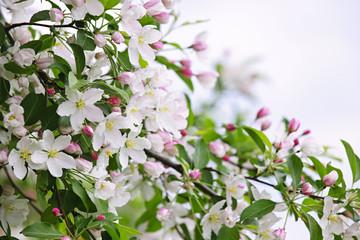 Obraz na Szkle Eko Blooming apple tree