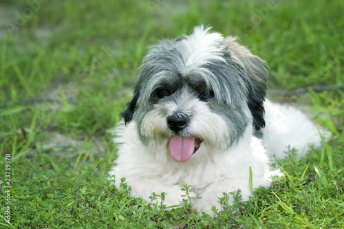 Cute Small White Dog Laying In The Grass Buy This Stock Photo And