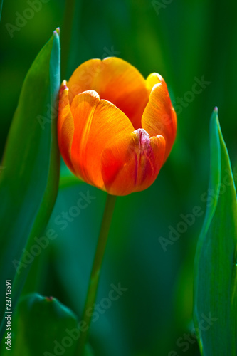 Foto auf AluDibond Tulpen orange tulip on a green background