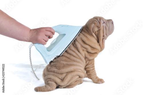 Valokuvatapetti Wrinkled Puppy Being Ironed