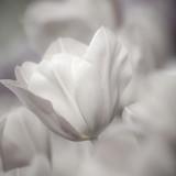 Sztuk pięknych z bliska Tulipany, niewyraźne i ostre - 23757379