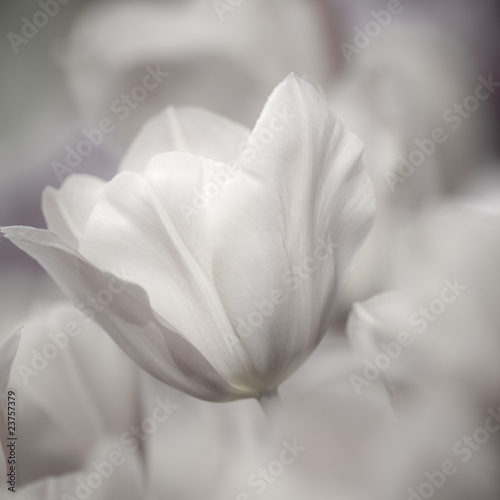 sztuk-pieknych-z-bliska-tulipany-niewyrazne-i-ostre