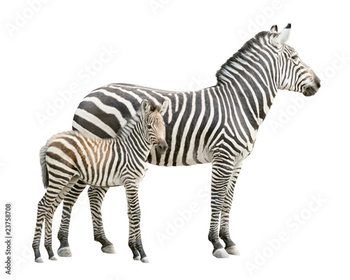 Aluminium Prints Zebra Zebra with foal cutout