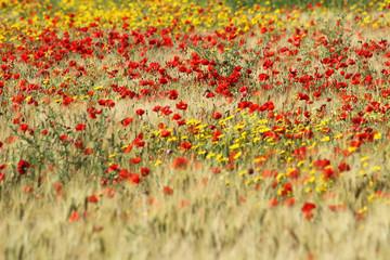 Fototapetawildflower in tuscan countryside