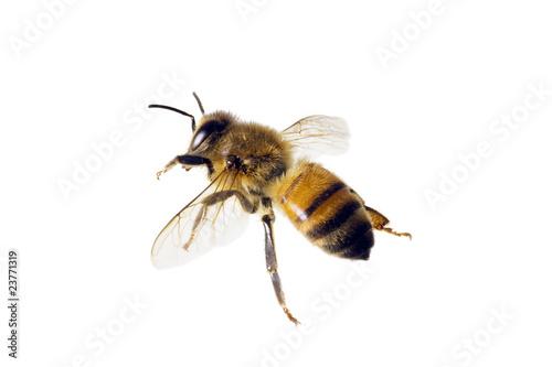 Poster Bee Bee, Apis mellifera