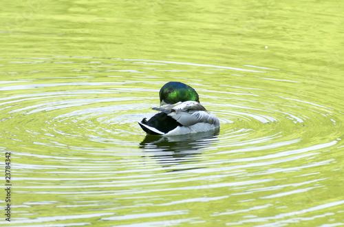 Fotografie, Obraz  Ducks.