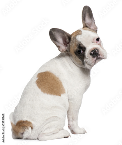 Poster Bouledogue français French Bulldog puppy, 3 months old, sitting