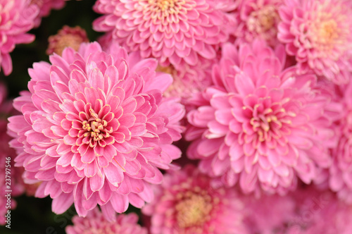 Photo Stands Candy pink Pink Chrysanthemum background