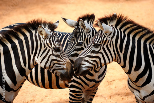 Photo sur Aluminium Zebra Three Zebras Kissing