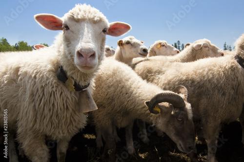 Fotobehang Schapen sheeps