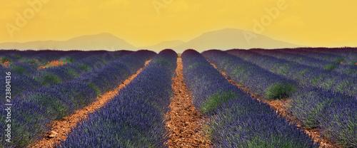 Foto auf AluDibond Lavendel champs de lavandin