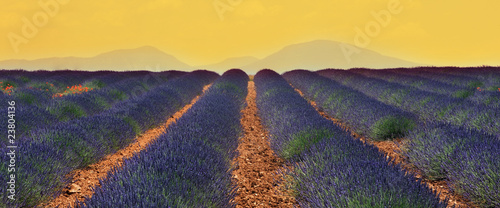 Spoed Foto op Canvas Lavendel champs de lavandin