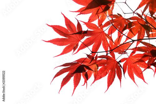 Photo  isolated red japanese maple