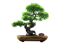 Chinese Green Bonsai Tree Isol...