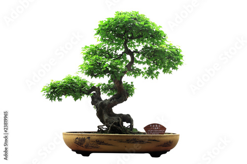 Photo Stands Bonsai Chinese green bonsai tree Isolated on white background.