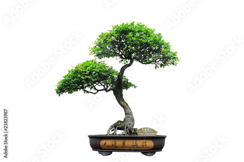 Stickers pour porte Bonsai Chinese green bonsai tree Isolated on white background.