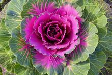Purple Decorative Cabbage In A...