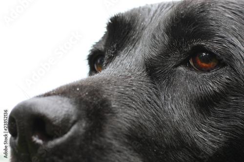 Fotografía  museau du labrador noir