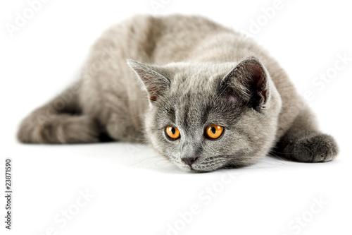 British kitten #23871590