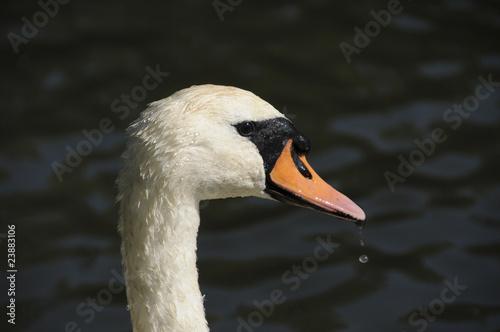 Foto auf Acrylglas Schwan swan side profile