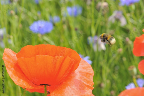 Fotografía Flight of a bumblebee