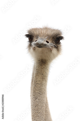 Tuinposter Struisvogel young female ostrich isolated