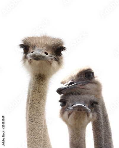 Staande foto Struisvogel three funny ostrich heads isolated