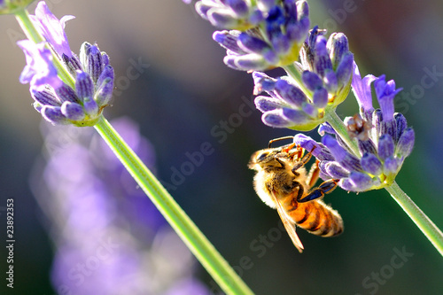 Photo Stands Lavender abeille et papillon