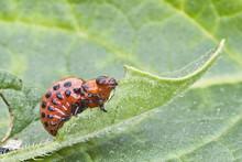 Larva Del Escarabajo De La Pat...