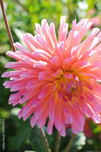 Poster de jardin Dahlia Dahlien. Zarte Blume. Natur Farben