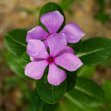 Purple Periwinkle