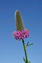 Purple Prairie Clover (Dalea P...