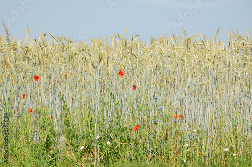 Field edge of a corn field with blue cornflowers and red poppies<br>@ p(AS)ob