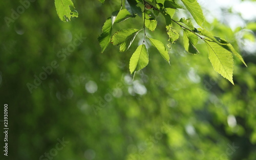 Staande foto Lente Beatiful green natural background - beech tree branch lit by the