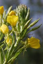 Gemeine Nachtkerze (Oenothera ...